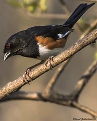 MaleTH1a (lfalterbauer) Tags: photography photographer bokeh depthoffield doylestown avian birdwatcher peacevalleypark pipilo erythrophthalmus tohee canon7dmarkii 100400mmii