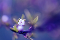 Sheer innocence (Paulina_77) Tags: flowers light plant motion blur flower color colour detail macro nature colors closeup garden season lens 50mm prime spring nikon colorful soft mood moody colours dof purple conversion blossom bokeh pastel background details dream grow atmosphere super depthoffield growth pastels bloom romantic fixed buds dreamy bud shallow colourful nikkor50mmf18 nikkor delicate dreamlike length makro fragile daydream depth atmospheric gentle springtime flourish selective subtle blooming 50mm18 focusing focal raynox d90 nikkor50mm18 bloomy raynoxdcr250 nikond90 50mm18g pola77