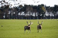 Deer @ Woburn Park (magicpicture.co.uk) Tags: wildlife deer nikond40 woburnpark nikond5200 dilpreetsohanpal wwwmagicpicturecouk