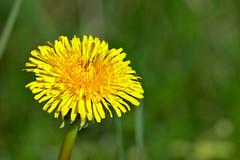 20160331_0018 (mystic_violet) Tags: vienna wien flower yellow austria sterreich spring gelb blume frhling lwenzahn schneswetter gewhnlicherlwenzahn taraxacumsectruderalia nikond3300 darktable