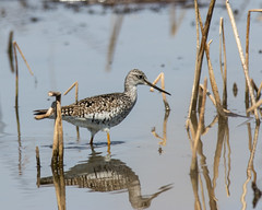 Greater Yellowlegs (J.B. Churchill) Tags: ny newyork birds us unitedstates places seneca taxonomy shorebirds greateryellowlegs senecafalls senecacounty grye montezumanwr