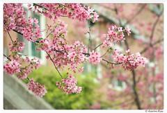 2016-04-05_012 (Aaron Cat) Tags: flowers plants macro canon eos hsinchu taiwan sakura usm f28    ef100mm 400d   aaronhsu