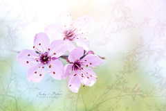 Cherry Plum Blossom (Jacky Parker Floral Art) Tags: pink flowers macro closeup outdoors spring blossom nopeople softfocus freshness springtime selectivefocus naturephotography macrophotography 2016 floralart beautyinnature springblossom horizontalformat flowerphotography focusonforeground cherryplumblossom creativeedit blackcherryplumtree
