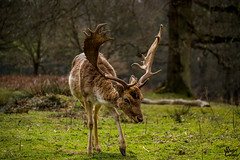 Stag (MrStuy) Tags: animal closeup landscape stag wildlife deer antlers nationaltrust reddeer knolepark