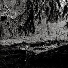 Portal (that analogue guy) Tags: trees washington 11 d76 bronica 400 hp5 olympics olympicnationalpark ilford hohrainforest sqai hallofmosses zenzanon80mmf28ps