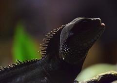 Darkness (Keith Mac Uidhir  (Thanks for 3.5m views)) Tags: ireland dublin black animal silhouette zoo reptile irland lizard dier animalia tier dublino irlanda irlande ierland irska dubln irlandia lirlanda irsko  airija irlanti  cng  iirimaa ha     rorszg         rlnd