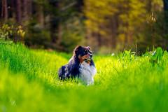 My buddy (Bokehschtig (busy)) Tags: dog green grass dof bokeh f14 sony meadow 85mm canine buddy hund aussie mate australianshepherd haustier a7 soulmate 1485 gmaster 8514 seelenhund fegm1485