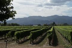 Vineyard, Marlborough, NZ (jozioau) Tags: vineyard rows variosonnart282470 marlborough newzealand