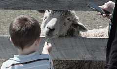 A bit sheepish, Kline Creek Farm. 3 (EOS) (Mega-Magpie) Tags: boy people usa chicago west guy grass america creek canon fence outdoors person eos illinois sheep outdoor farm dupage il iphone kline 60d
