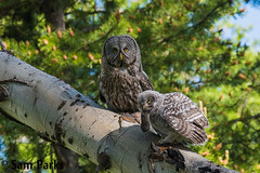 GG45 (Sam Parks Photography) Tags: trees wild summer usa baby bird nature animal forest rockies rodent spring wings woods nest feeding nps wildlife unitedstatesofamerica ghost feathers young meadow aves raptor northamerica rockymountains prey feed wyoming greatgrayowl phantom predator juvenile carnivorous exchange naturalworld jacksonhole avian fledgling offspring tetonrange parkservice strigiformes grandtetonnationalpark predatory aspentree strixnebulosa predation gye nestling mountainous owlet carnivora strigidae gtnp fledge greateryellowstoneecosystem aspenstand horizontalorientation carniore