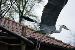 Leider (dieunsoziale) Tags: zoo osnabrck tier vogel reiher