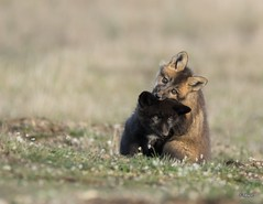 Baby Fox Hugs (T0nyJ0yce) Tags: family wild baby playing cute love nature animals cub hugging affection sweet wildlife young adorable canine siblings tiny fox hugs kit pup mammals foxes cuddling silverfox redfox vulpesvulpes animalsinthewild silverphase canon7dmarkii tamron150600
