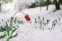 Tulip killed by snow (nacfoto photography) Tags: winter snow flower macro nature closeup garden tulip destroyed nikondslr nikond800
