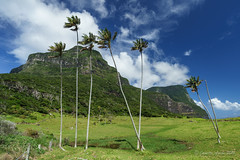 Palms on Lord Howe Is (NettyA) Tags: trees green grass clouds fence fine sunny australia farmland palm nsw day4 unescoworldheritage lordhoweisland 2016 lhi mtgower mtlidgbird lordhoweforclimate