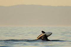 exuberance (v_ac_md) Tags: california us unitedstates montereybay orca pacificgrove killerwhale