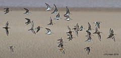 The Dunlin Daily Commute! (Peter J. Ham Many thanks for viewing my pics.) Tags: life light sea colour birds coast flying cheshire northwest flight feathers aves chirk shore dee waders birder mersey oiseaux wirral irishsea flocks leasowe avies chirkdunlinandwhitethroat dunlinandwhitethroat