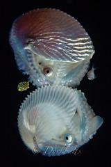 IMG_5744 (nealmoc) Tags: hawaii bigisland blackwater kona nautilus cephalopod kailuakona underwaterphotography papernautilus