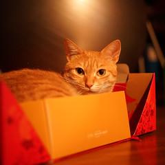 DSC09076s (lazybonessss) Tags: leica cat momo kitten2 inthebox summicronm50 sonya7 sonyilce7