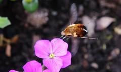 Wollschweber (Bombyliidae) (Hugo von Schreck) Tags: macro insect makro insekt givemefive f13 wollschweber bombyliidae tamron28300mmf3563divcpzda010 canoneos5dsr hugovonschreck