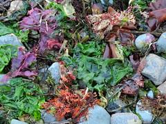 Seaweed potpourri (RebelRob) Tags: seaweed colour beach britishcolumbia vancouverisland comoxbc