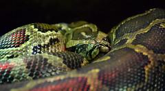 Nathair (Keith Mac Uidhir  (Thanks for 3.5m views)) Tags: ireland dublin green animal zoo reptile snake irland explore python coil dier animalia tier dublino irlanda irlande ierland irska dubln irlandia lirlanda irsko  airija irlanti  cng  iirimaa ha     rorszg         rlnd