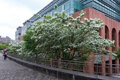 - Chinese fringe tree (basaza) Tags: canon 30d 1635