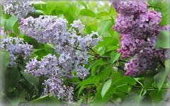 Lilac (Stella VM) Tags: flowers blue beautiful garden spring purple lilac
