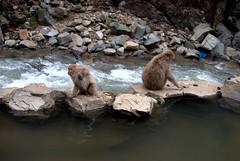 Group bath (Kyle Horner) Tags: japanesemacaque kanbayashi snowmonkeyresorts