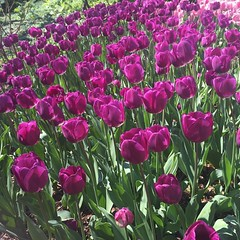 #Tulips in #CentralPark today  (Cait_Stewart) Tags: park nyc newyorkcity flowers plants usa newyork garden square spring purple tulips centralpark grow wanderlust ues squareformat springflowers uppereastside nofilter purpletulips visitnyc nofilterneeded iphoneography instagramapp