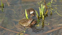 Common Frog, 220316, 66 a (al blunden) Tags: spring wildlife amphibians alongtheriver commonfrog march2016 queenelizabethparkhermajestyqueenelizabeththequeenmother