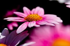 Pink daisy  (hiroshi_arai) Tags: pink flowers flower macro nature canon pinkflower daisy   macrolens pinkdaisy 60d