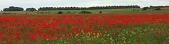 IMG_0355 (Invincible Moose) Tags: salisbury poppyfield