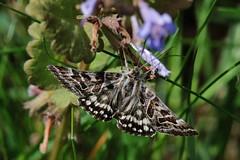 Schmetterling (Hugo von Schreck) Tags: macro butterfly insect falter makro insekt schmetterling tamronspaf180mmf35dildifmacro11 canoneos5dmarkiii hugovonschreck