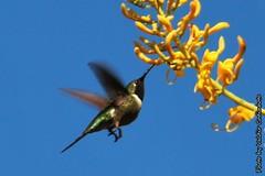 Beija-flor (2) (valdircodinhoto) Tags: parque brasil fauna go flor pssaro dos jorge ave cerrado alto nacional beijaflor so chapada veadeiros paraso gois voo colibri centrooeste