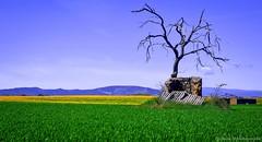 Toujours debout......... (Malain17) Tags: france nature clouds landscape photography flickr image pentax couleurs champs photographers panoramic ciel provence capture paysage arbre ruines colza