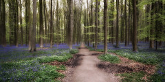 Dreamland (*Gitpix*) Tags: wood trip blue trees plants tree nature leaves forest carpet spring mood belgium path walk sony natur pflanzen dream atmosphere treetrunk ausflug blau forestfloor twigs wald bltter bluebell bume baum atmosphre forestpath stimmung springtime weg reise teppich frhling spaziergang belgien zweige hallerbos waldweg traum baumstamm waldboden glockenblumen forestsoil sel16f28 nex7