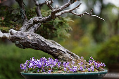 20160413-39-Bonsai at Kyoto Botanic Gardens (Roger T Wong) Tags: travel trees holiday japan kyoto bonsai botanicgardens 2016 canonef70200mmf4lisusm canon70200f4lis canoneos6d rogettwong