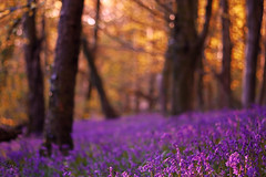 A lilac carpet in the woods (Stacey Legge Photography) Tags: flowers trees bluebells southwales wales fairytale forest landscape spring woods cardiff dramatic wanderlust lilac fantasy serene woodlandtrust coedywenallt staceylegge