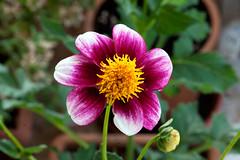 Faded colors (Pensive glance) Tags: dahlia plant flower nature fleur plante