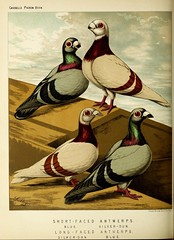 n329_w1150 (BioDivLibrary) Tags: pigeons fieldmuseumofnaturalhistorylibrary bhl:page=49799197 dc:identifier=httpbiodiversitylibraryorgpage49799197
