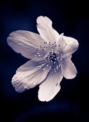 Wood Anenome. (Net_Ski) Tags: flowers flower macro nature rural canon flora gloucestershire wildflower 2016 netski woodanenome eos700d