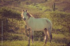 _DSC8675 (Izaias Lus) Tags: brasil caballos photography photographie cavalos equestrian equine nordeste chevaux equino haras equestre garanhunspe