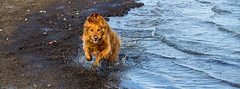 From the depths of the ocean rises the beast that hunts for your soul. (SSelJEFE) Tags: california red hairy dog lake beach water animal monster goldenretriever canon photography sand waves mud fuzzy teeth ears retriever dirt cooper grin blury animalkingdom 6d missedopportunity ef70200mm