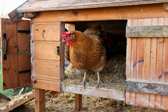 (The Garden Smallholder) Tags: chickens chicken farm poultry hen countrylife chickencoop farmlife smallholding smallholder backyardchickens