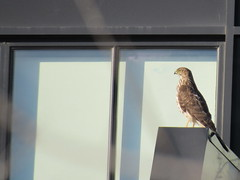 Hawk, seen in Arlington, Va. (Dan_DC) Tags: bird eye arlington hawk va perched hawkeye predator