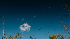 Sky full of vultures (BurlapZack) Tags: camping autumn sky fall nature birds clouds forest woods afternoon hiking ominous widescreen bluesky roadtrip hike adventure explore vultures journey pointandshoot exploration 169 compact omen sunnyday buzzards campingtrip badluck 16x9 badomen pack06 digitalcompact turkeybuzzards beaversbendstatepark brokenbowok hiketeam advancedcompact campvibes vscofilm panasoniclumixlx100