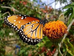 Mariposa reina (Pop Martian) Tags: naturaleza nature field mxico butterfly insect outdoors countryside campo mariposa biology morelos insecto tepoztln airelibre biologa macrofotografa milpa macrofotography