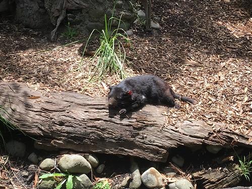 20151230-143330 [BL_1590] Tasmanian devil