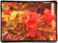 Euphorbia in the greenhouse of Balchik botanical garden, Bulgaria (cod_gabriel) Tags: flowers flower dof bokeh spin ivan depthoffield bulgaria greenhouse desenfoque jardimbotnico euphorbia botanicalgarden hortusbotanicus sera sloppy bulgarie shallowdepthoffield jardnbotnico balchik shallowdof  ortobotanico flori botanischergarten shallowfocus bulgarije bulgarien dobrudja bulgaristan bugarska balcic   bugaria dobrogea gradinabotanica dobroudja   floare spini desenfocar ogrdbotaniczny cadrilater bulgria botanisktrdgrd botanikbahesi    dobruda dobruca dobruja  dobruda  balchikbotanicalgarden    dobrudzsa dobrugia dobroedzja dobrudzja  pixlromatic grdinbotanic   photogramio spinuldomnului ser kebunbotani