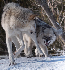 Wolves (montrealmaggie) Tags: winter nature fence outdoors wolf growl hff